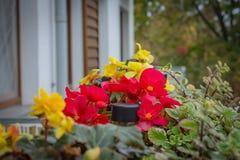 Ingemaakte bloemen op het balkon, de begonia's en plectranthusglabratus stock fotografie