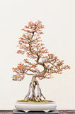 Ingemaakte Bonsaiboom royalty-vrije stock foto