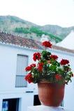Ingemaakte geranium stock fotografie