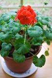 Ingemaakte Geranium Royalty-vrije Stock Fotografie