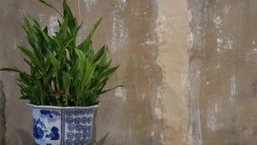 Ingemaakte installatie dichtbij grungy muur Sier Chinese ceramische pot met groene die installatie dichtbij sjofele concrete muur stock footage