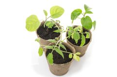 Ingemaakte zaailingen die in de biologisch afbreekbare potten van het turfmos groeien royalty-vrije stock foto