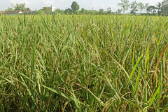 Ingen vidd av risfält bak byggnaden Royaltyfri Foto