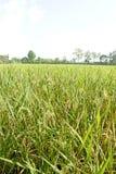 Ingen vidd av risfält bak byggnaden Arkivbild