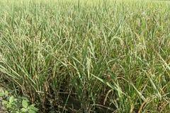 Ingen vidd av risfält bak byggnaden Arkivfoton