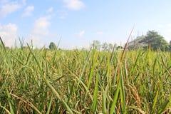 Ingen vidd av risfält bak byggnaden Arkivbilder