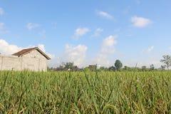 Ingen vidd av risfält bak byggnaden Fotografering för Bildbyråer