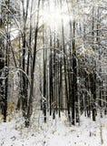 Ingesneeuwde bomen in de winterbos Royalty-vrije Stock Afbeeldingen