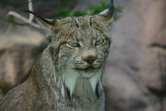 Ingetogen Canadees Lynxportret royalty-vrije stock fotografie