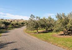 Inghiai la strada attraverso l'oliveto con di olivo in Nuova Zelanda Immagini Stock Libere da Diritti