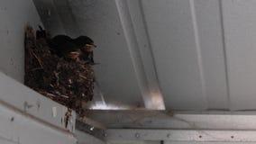 Inghiotta i pulcini, Hirundinidae, in nido in tettoia che aspetta per essere alimentato dagli adulti a luglio, la Scozia video d archivio