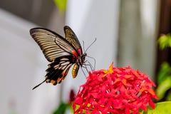 Inghiotta la farfalla munita della farfalla che si alimenta dai fiori rossi Fotografie Stock