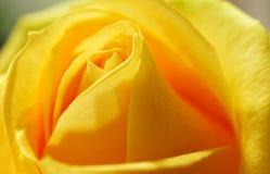 Ingiallisca di rosa Fotografie Stock