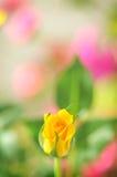 Ingiallisca di rosa Fotografia Stock