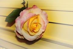 Ingiallisca di rosa Fotografia Stock Libera da Diritti