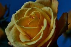 Ingiallisca di rosa Germoglio, petali, mazzo Fotografie Stock Libere da Diritti