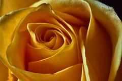 Ingiallisca di rosa Germoglio, petali, mazzo Fotografia Stock Libera da Diritti