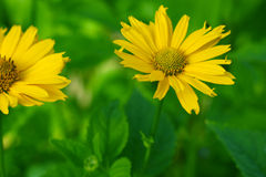 Ingiallisca i fiori Fotografia Stock