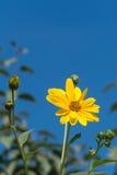 Ingiallisca i fiori contro cielo blu Fotografia Stock Libera da Diritti