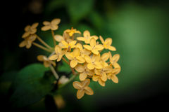 Ingiallisca i fiori di Ixora Fotografia Stock Libera da Diritti