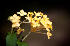 Ingiallisca i fiori di Ixora Fotografie Stock Libere da Diritti