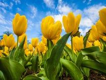 Ingiallisca i tulipani Fotografie Stock Libere da Diritti