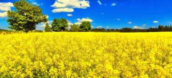 Ingiallisca il campo sbocciato dell'agricoltura della colza con l'albero di acero su fondo Fotografia Stock