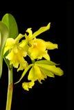 Ingiallisca il fiore dell'orchidea fotografia stock