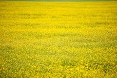 Ingiallisca il giacimento del seme di ravizzone Fotografie Stock