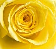 Ingiallisca il petalo di rosa Fotografie Stock