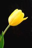 Ingiallisca il tulipano Fotografia Stock Libera da Diritti