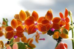 Ingiallisca l'orchidea Immagine Stock Libera da Diritti