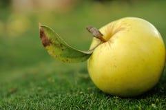Ingiallisca la mela su erba verde Fotografie Stock Libere da Diritti