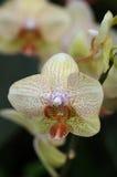 Ingiallisca le orchidee Immagini Stock Libere da Diritti