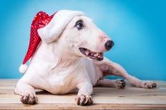 Inglés blanco bull terrier en un sombrero de la Navidad en el st de madera del piso Imagenes de archivo