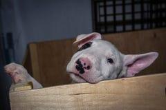 Inglés bull terrier Fotografía de archivo libre de regalías