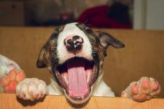 Inglés bull terrier Foto de archivo