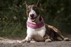 Inglés bull terrier Fotografía de archivo