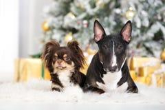 Inglés bull terrier y perros de la chihuahua que presentan para la Navidad Fotografía de archivo libre de regalías