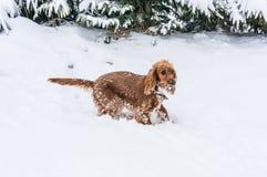 Inglés cocker spaniel que juega en la nieve fotografía de archivo libre de regalías