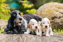 Inglés criado en línea pura cocker spaniel con el perrito Fotografía de archivo libre de regalías