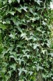 Inglés Ivy Covered Forest Tree Trunk Fotografía de archivo