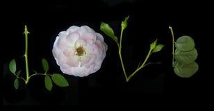 Inglés Rose Imagen de archivo