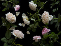 Inglés Rose Fotos de archivo