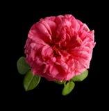 Inglés Rose Fotografía de archivo libre de regalías