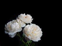 Inglés Rose Imágenes de archivo libres de regalías
