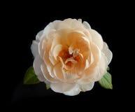 Inglés Rose Foto de archivo libre de regalías