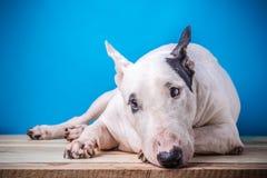 Inglês branco bull terrier no assoalho de madeira Foto de Stock