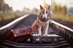 Inglês bull terrier nos trilhos com malas de viagem Fotos de Stock Royalty Free