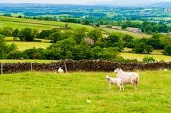 Inglês que pasta carneiros no campo Imagens de Stock Royalty Free